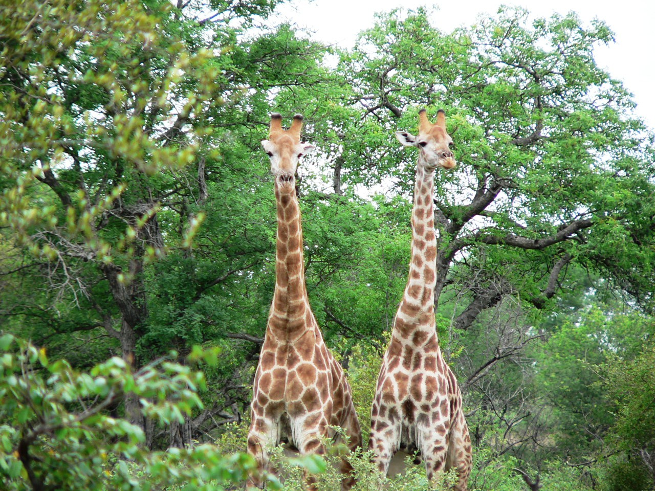 Giraffes in Kruger National Park, South Africa