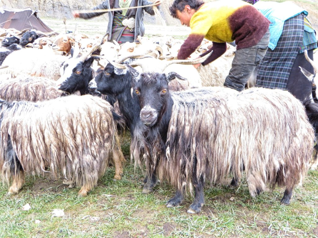 Nomads and their furry goats.