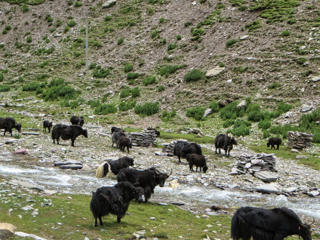 Delicious yak graze by the river.