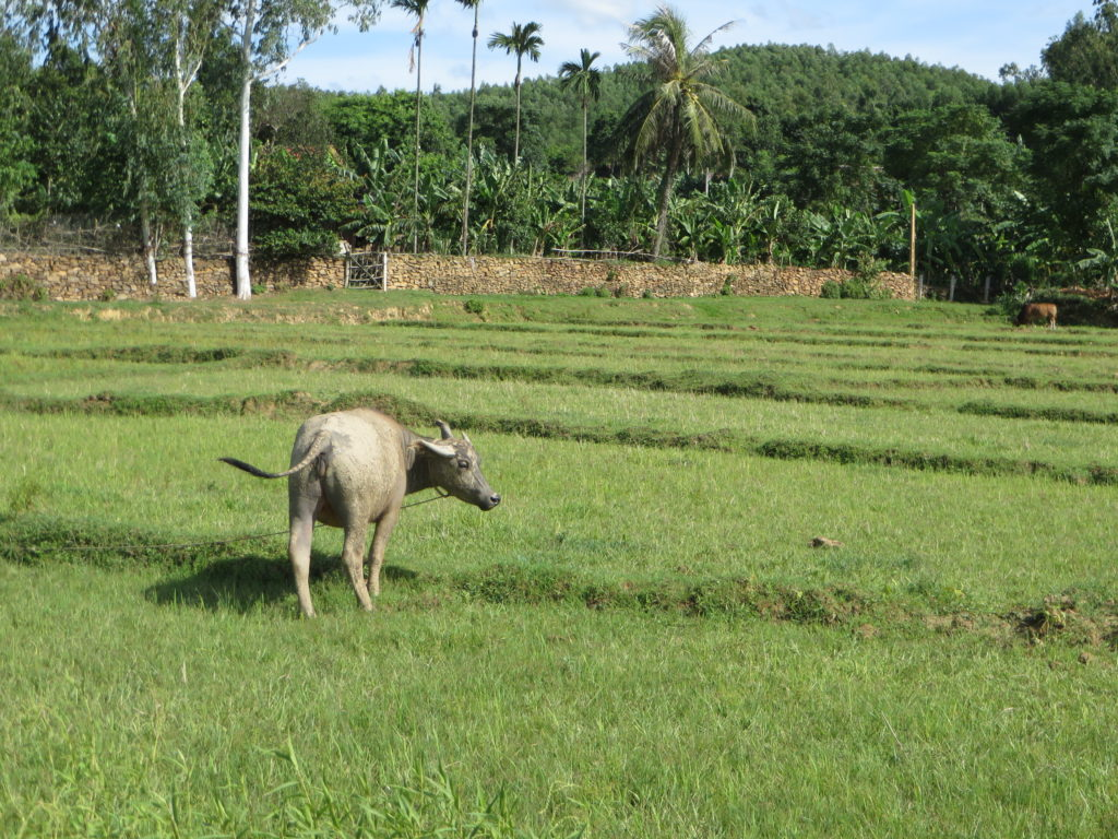 A water buffalo roams the rice paddy.