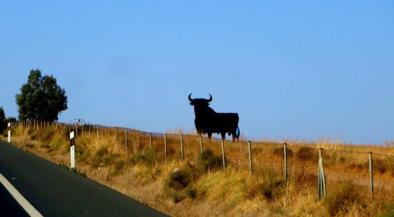 The bulls of Spain.